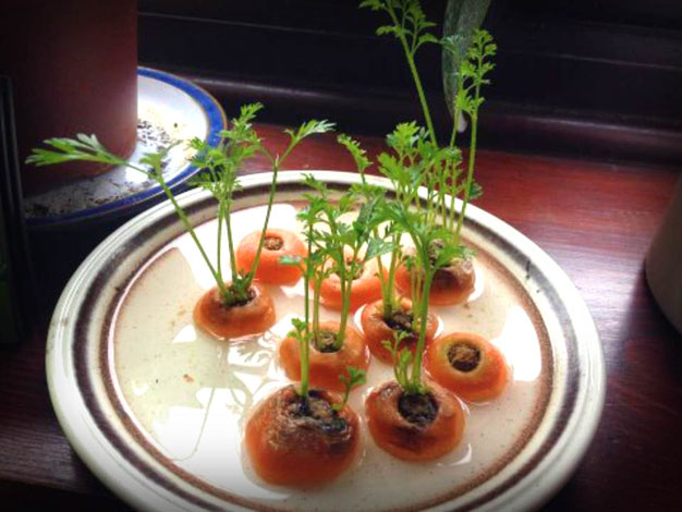 cultivar-zanahoria-comprada-1