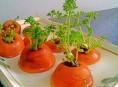 imagen Cómo cultivar la zanahoria que has comprado