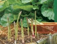 imagen Cómo cultivar espárragos en casa
