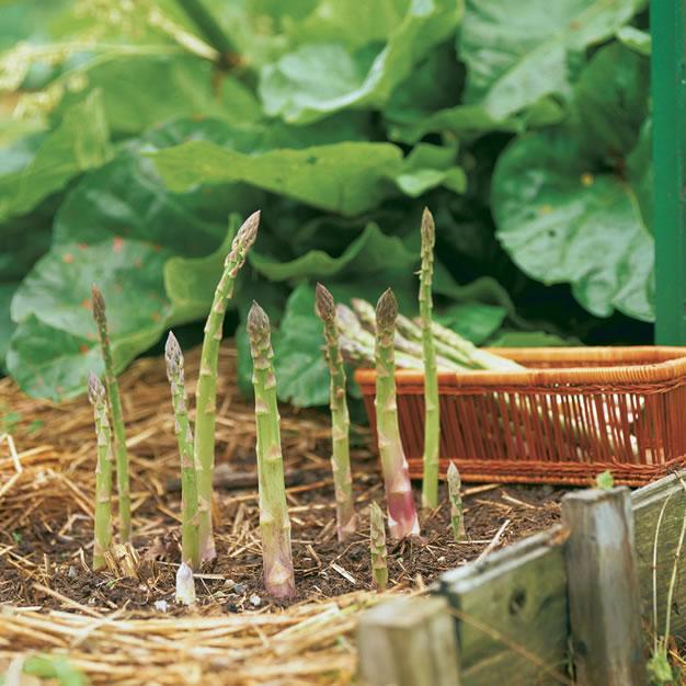 cómo cultivar espárragos en casa