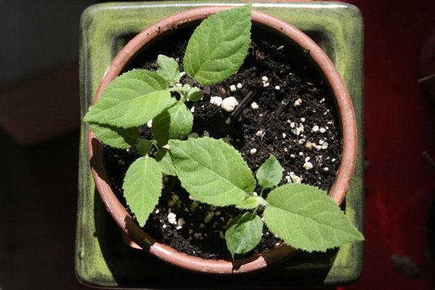 kiwi-desde-una-semilla-1