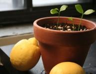 imagen Cultiva tus propios limoneros desde las semillas