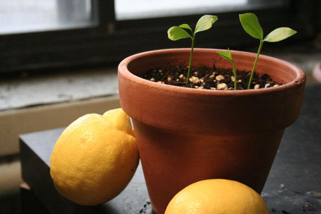 Cultivo de limonero desde semilla