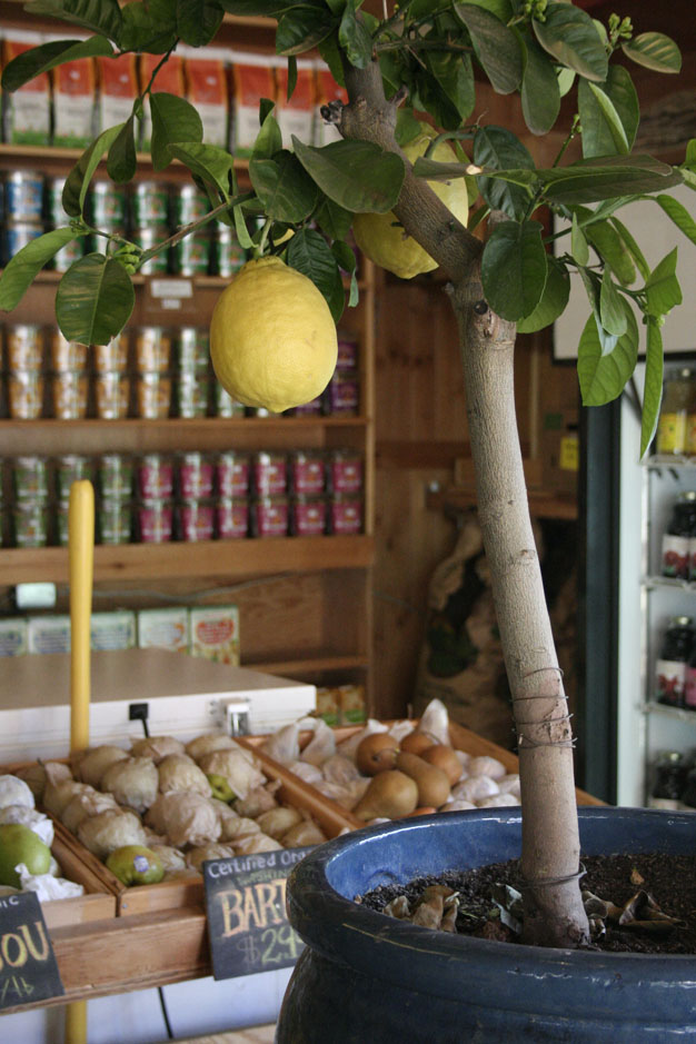 limon-desde-semilla-2