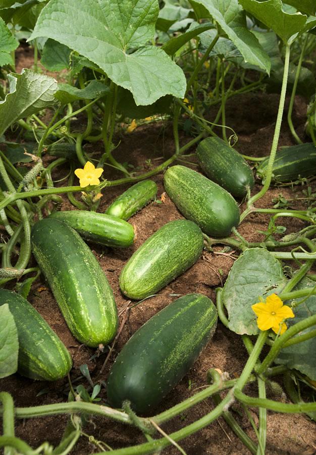 Cultivo pepino 2