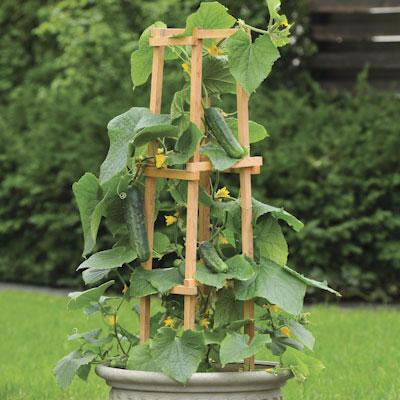 Cultivo pepino 3