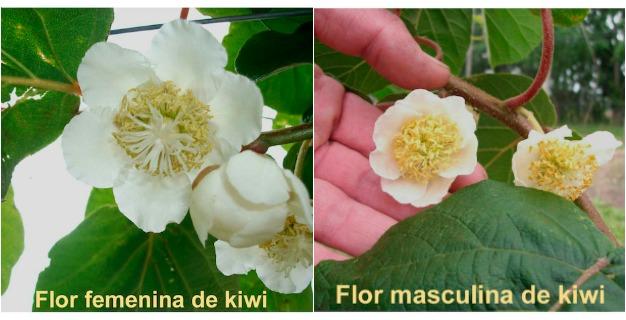 sexo flores de kiwi