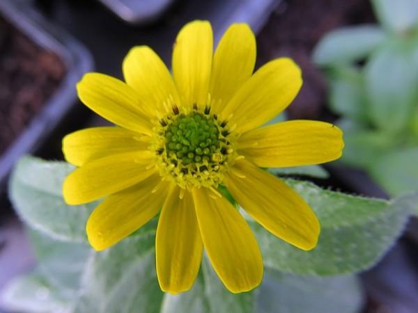 como-cultivar-la-sanvitalia-03