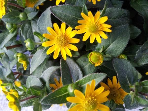 como-cultivar-la-sanvitalia-04