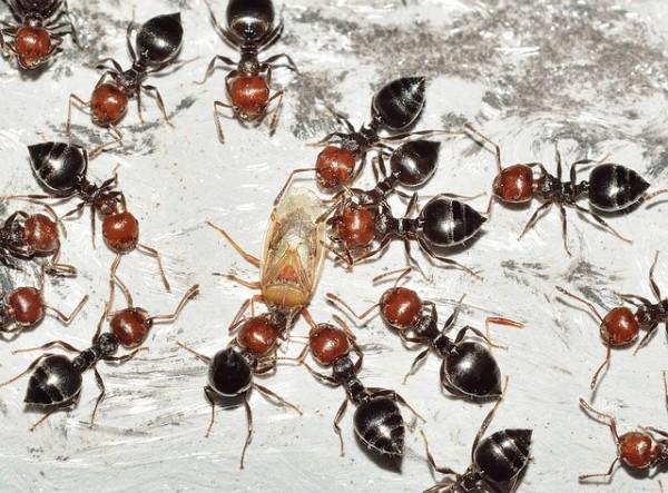 hormigas-amgias-o-enemigas-02.jpg