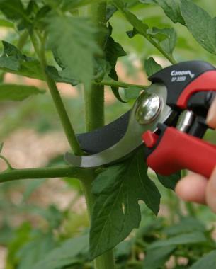 la-poda-vegetativa-del-tomate-01