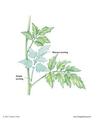 la-poda-vegetativa-del-tomate-03