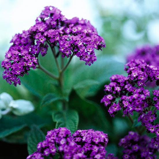 plantas-anuales-de-floracion-fragante-01