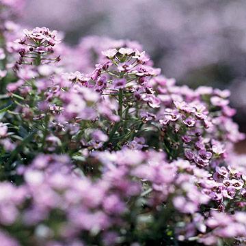 plantas-anuales-de-floracion-fragante-03