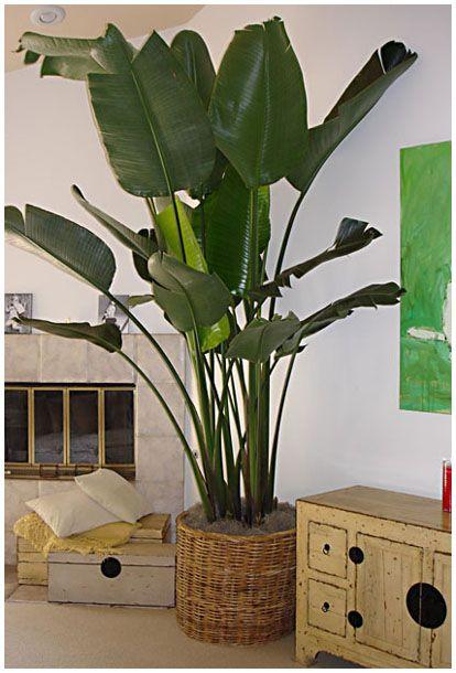 Cultivando plantas tropicales de interior - Plantas de interior tropicales ...