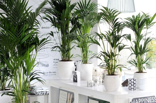 Cultivando plantas tropicales de interior Plantas tropicales interior