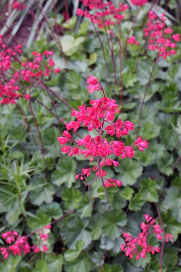 Cómo cultivar la heuchera | Guía de Jardinería