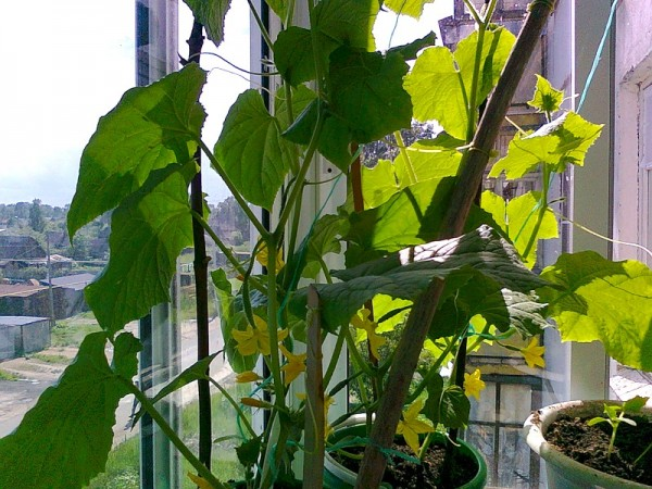 cultivar-pepinos-en-el-balcon-01