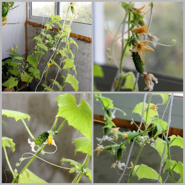 cultivar-pepinos-en-el-balcon-05