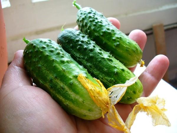 cultivar-pepinos-en-el-balcon-06