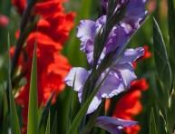 imagen Cultivo y uso del gladiolo