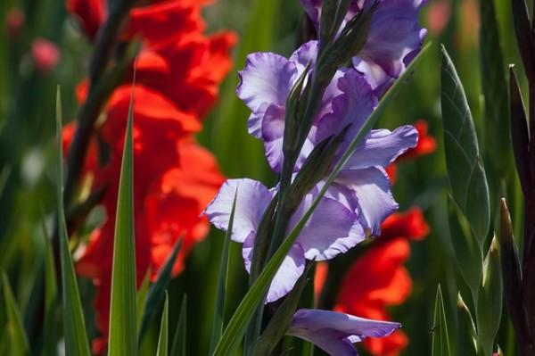 cultivo-y-uso-del-gladiolo-01