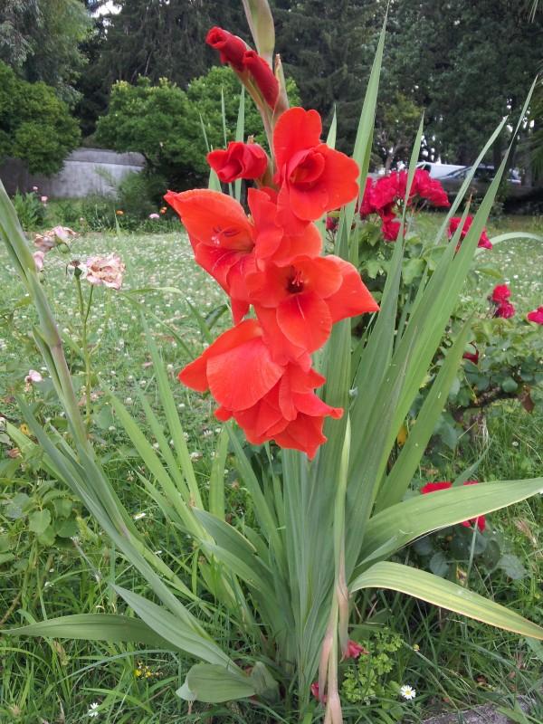 cultivo-y-uso-del-gladiolo-02