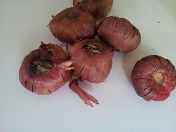 cultivo-y-uso-del-gladiolo-03