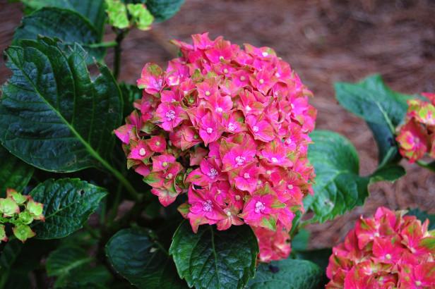 hortensias-en-maceta-1