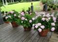 imagen Cómo cultivar hortensias en macetas