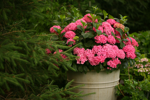 C mo cultivar hortensias en macetas - Poda de hortensias en maceta ...