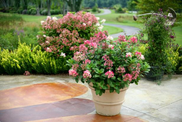Cmo cultivar hortensias en macetas