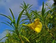 imagen La adelfa amarilla