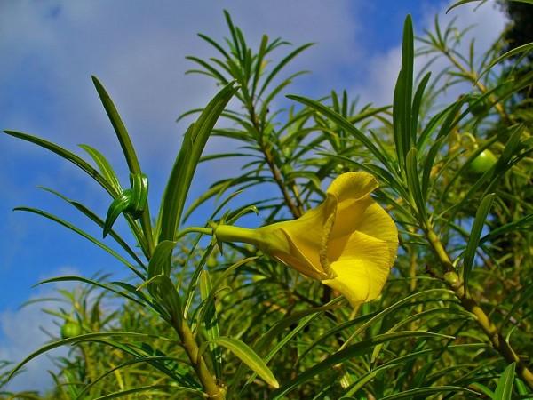 la-adelfa-amarilla-01