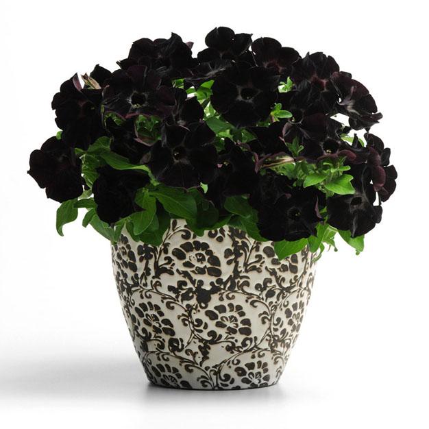 la-petunia-negra-1