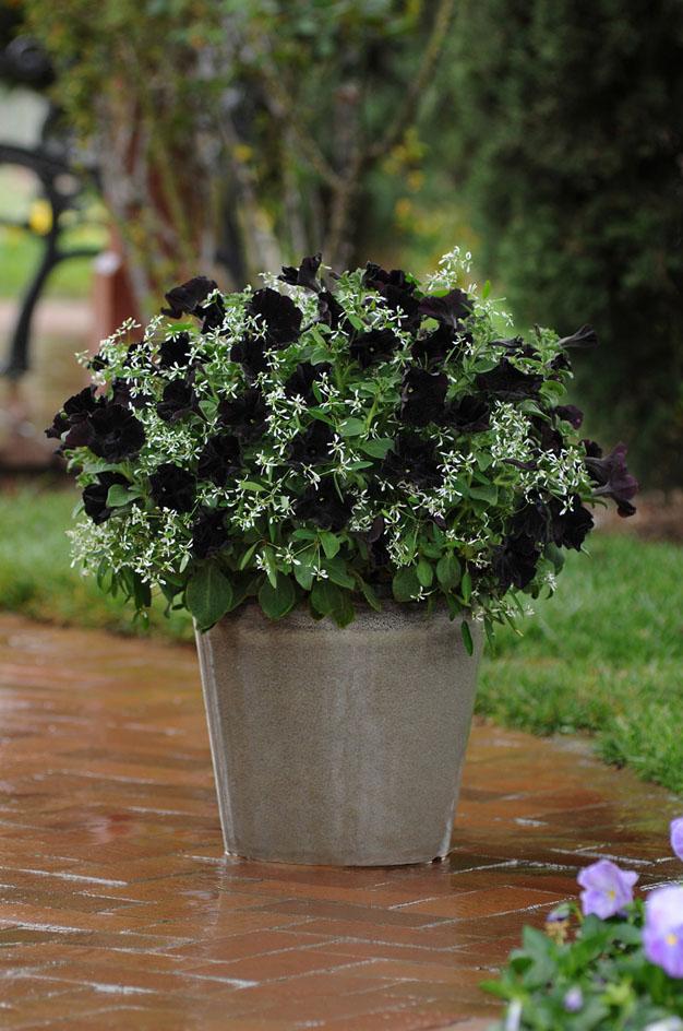 la-petunia-negra-2