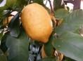 imagen Cómo conservar los limones