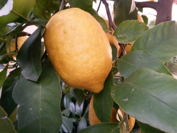 como-conservar-los-limones-02