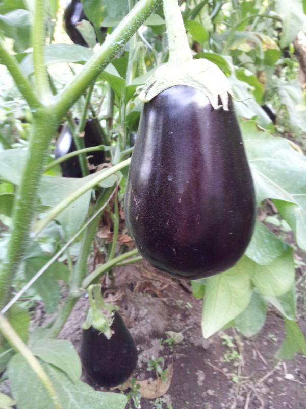 como-cultivar-berenjenas-03