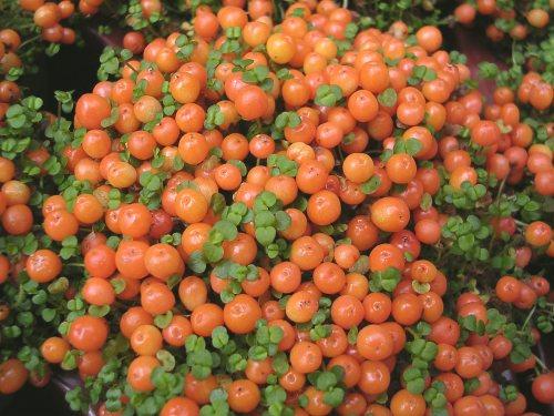 como-cultivar-la-nertera-03