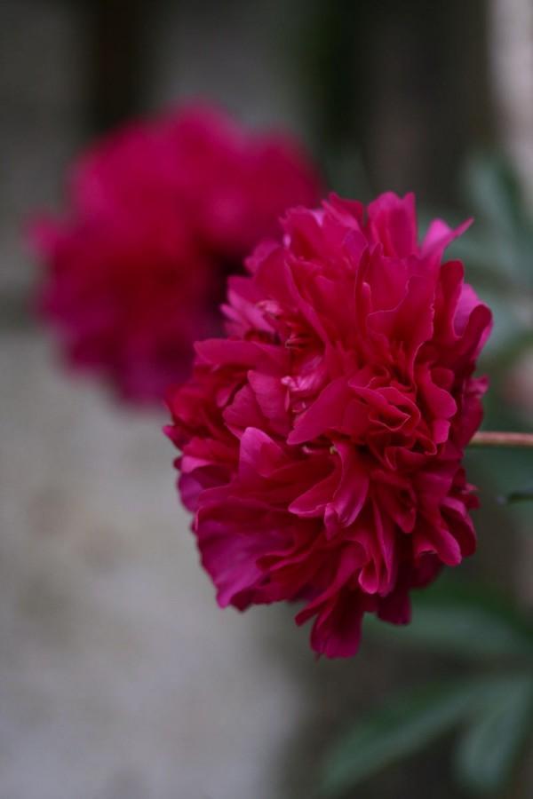como-cultivar-peonias-01