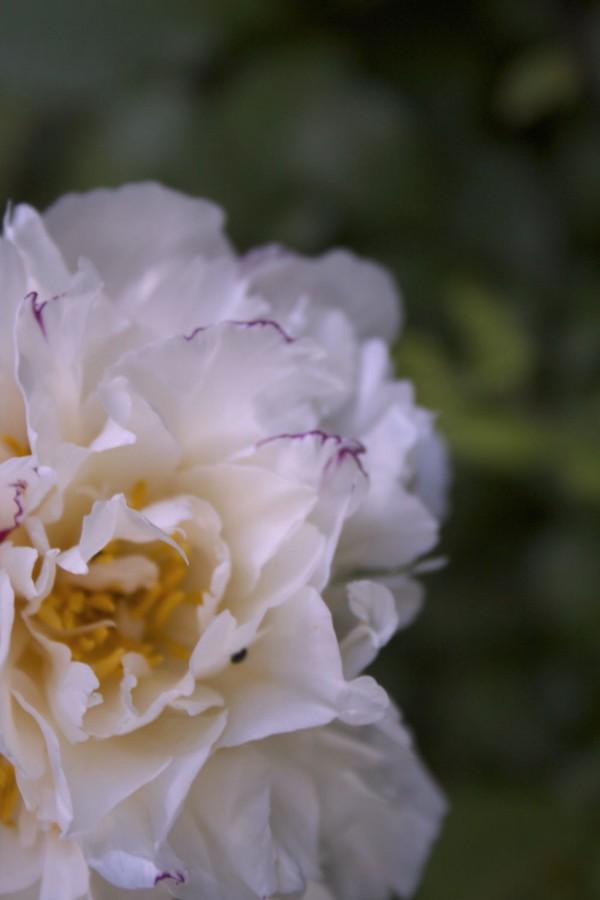 como-cultivar-peonias-02