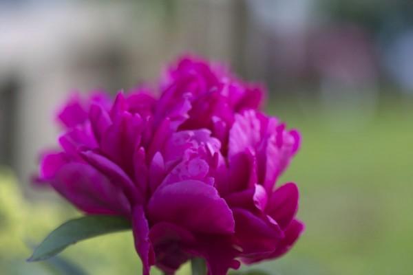 como-cultivar-peonias-03