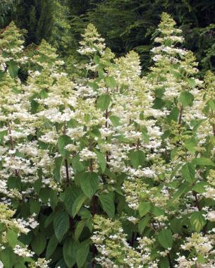 conoce-la-hortensia-paniculata-02