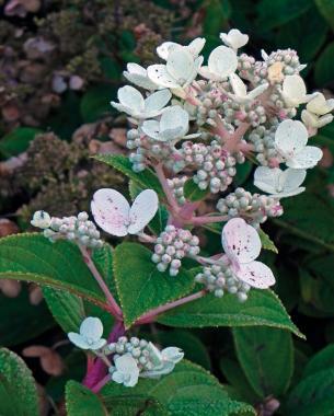 conoce-la-hortensia-paniculata-03