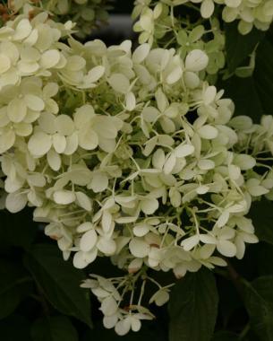 conoce-la-hortensia-paniculata-04