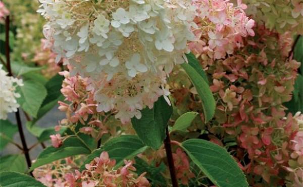 conoce-la-hortensia-paniculata-05