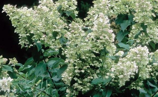 conoce-la-hortensia-paniculata-06