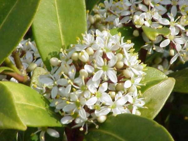 conoce-y-cultiva-la-skimmia-01