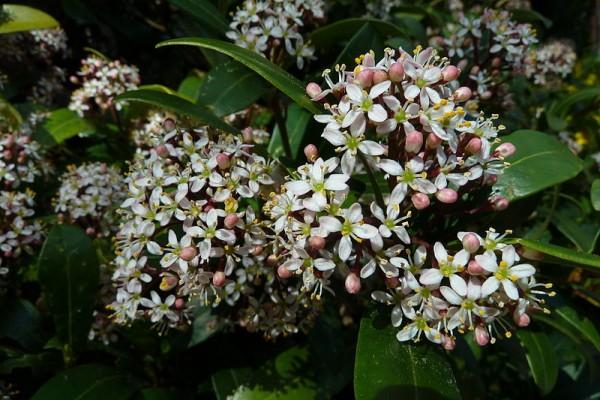 conoce-y-cultiva-la-skimmia-03